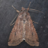 10915 Pearly Underwing - Peridroma saucia