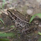 061207 Frog