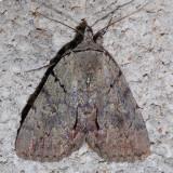 8869 Alabama Underwing - Catocala alabamae
