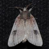 8009 Plain Schizura - Schizura apicalis