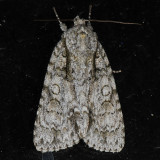 9246  Clear Dagger  - Acronicta clarescens