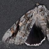 8793 Sad Underwing - Catocala maestosa