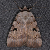 8842 Married Underwing - Catocala nuptialis