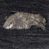 7983 Oblique Heterocampa - Heterocampa obliqua