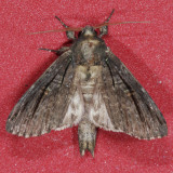 10059 Brown-lined Sallow - Homohadena badistriga