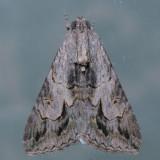 8607  Merry Melipotis - Melipotis jucunda