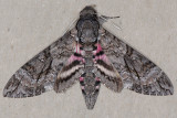 7771 Pink-spotted Hawkmoth - Agrius cingulata