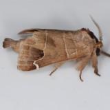 7895 Sigmoid Prominent  - Clostera albosigma