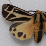 8169 Harnessed Tiger - Apantesis phalerata