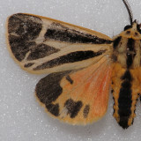 8170  Banded Tiger Moth Species Group