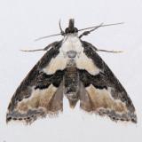 8440 Thin-winged Owlet - Nigetia formosalis