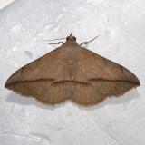 8574  Velvetbean Caterpillar  - Anticarsia gemmatalis