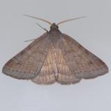 8733  Vetch Looper - Caenurgia chloropha