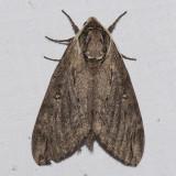 7789 Catalpa Sphinx - Caratomia catalpae