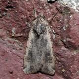 10915 Variegated Cutworm - Peridroma saucia