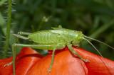 Grasshopper on a poppy