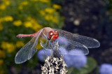 Dragonfly  (Sympetrum)