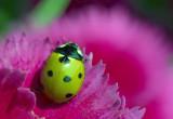 A green ladybird