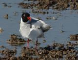recent gulls in the po delta river