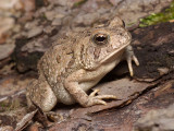 Toad on a Log