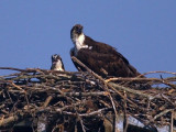 Adult Osprey and Young