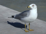 Southernmost Ring-billed Gull