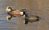 American Wigeon and American Coot