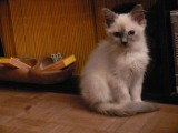 Loesje at 4,5 months ragdoll