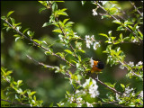 12May07 Northern Oriole - 16428