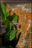 13May07 Sweet Violet - 16436