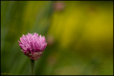 16May07 Chive Blossom - 16465