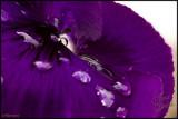 17May07 Purple Tears - 16469