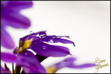01Jun07 Fan Flower - 16590