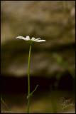 16Jun07 Wild Daisy - 16733