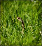 21Jun07 Peeking Over the Grass - 16781