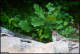 25Jun07 Squirrel - 16799