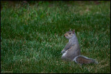 27Jun07 Another Squirrel - 16808