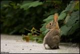 29Jun07 Rabbit - 16832