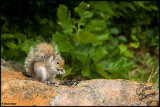 06July07 Fuzzy Tailed Squirrel - 17056