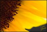 04 Sept 2007 Sunflower Petals - 17665