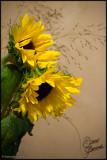 08 Sept 2007 Sunflowers - 17691