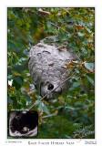 10 Sept 2007 Bald Faced Hornet Nest - 17738
