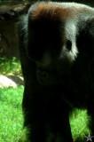 Gorilla Contemplation