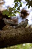 Pair of Pigeons