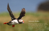 Atlantic Puffin, UK 2007