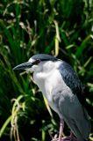 Black crowned night heron.jpg