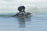 Garrot d'Islande - Barrow's goldeneye - Bucephala islandica