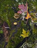 Maple on Moss
