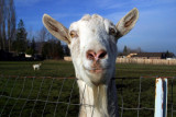 Got Goat?