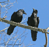A Tale of Two Ravens